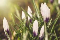 美丽的紫罗兰色番红花花用水在雨以后滴下 选择聚焦 背景概念花春天空白黄色年轻人 免版税库存图片