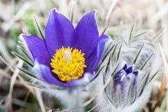 美丽的紫罗兰色番红花,第一朵春天花 免版税库存照片