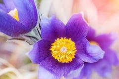 美丽的紫罗兰色番红花,第一朵春天花 库存图片