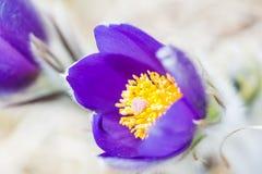 美丽的紫罗兰色番红花,第一朵春天花 库存照片