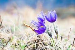 美丽的紫罗兰色番红花,第一朵春天花 免版税库存图片