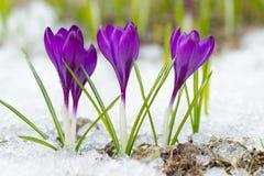 美丽的紫罗兰色番红花 库存照片