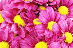 美丽的紫罗兰色红色大丽花flowers.Сloseup 图库摄影