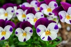 美丽的紫罗兰色花,中提琴三色蝴蝶花开花树枝在庭院里 天然泉季节节日背景 库存图片