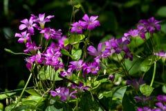 美丽的紫罗兰色酢浆草在森林里 免版税库存图片