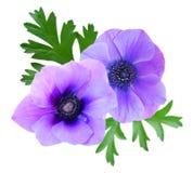 美丽的紫罗兰色银莲花属花 免版税库存照片