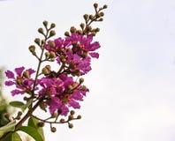 美丽的紫罗兰色绉绸桃金娘特写镜头视图有剪报天空背景 免版税库存图片