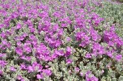 美丽的紫罗兰色晴雨表灌木花 免版税库存图片