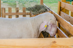 美丽的绵羊基于并且吃农场 库存照片