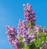 美丽的紫色丁香开花开花 免版税图库摄影