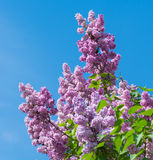 美丽的紫色丁香开花开花 库存图片