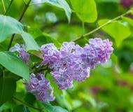 美丽的紫色丁香开花开花 免版税库存图片