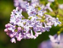 美丽的紫色丁香开花开花 免版税库存照片