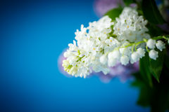 美丽的紫色丁香花束  免版税图库摄影