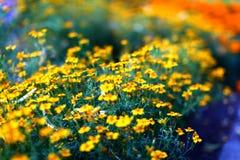 美丽的黄色万寿菊花的领域 免版税图库摄影