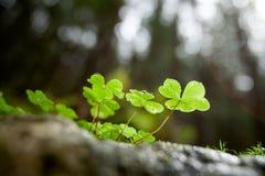 美丽的绿色三叶草特写镜头 免版税图库摄影