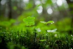 美丽的绿色三叶草特写镜头 库存照片