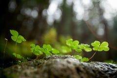 美丽的绿色三叶草特写镜头 免版税库存图片