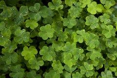 美丽的绿色三叶草特写镜头 库存图片