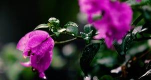 美丽的紫色九重葛 影视素材