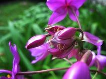 美丽的紫色兰花在庭院里 免版税图库摄影