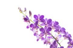 美丽的紫色兰花开花在白色隔绝的分支 免版税库存照片