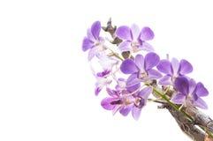 美丽的紫色兰花开花在白色隔绝的分支 库存图片