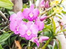 美丽的紫色兰花-兰花植物 免版税图库摄影