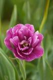 美丽的紫色双重郁金香 库存照片