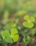 美丽的绿色叶子水三叶草(满江红, Pepperwort) 免版税图库摄影