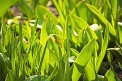 黄水仙美丽的绿色叶子  库存照片