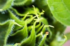 美丽的绿色向日葵成长开发的宏指令接近在被弄脏的背景中 免版税库存图片