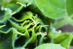 美丽的绿色向日葵成长开发的宏指令接近  库存照片