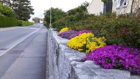 美丽的黄色和桃红色花在街道附近的庭院里 库存图片