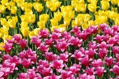 美丽的黄色和桃红色郁金香领域特写镜头 免版税库存照片