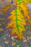 美丽的黄色和橙色秋天槭树离开与绿色在中间特写镜头 库存照片