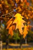 美丽的黄色和橙色秋天槭树离开在蓝天特写镜头 库存照片