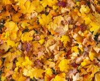 美丽的黄色和橙色秋天槭树离开地毯样式 免版税库存图片