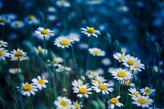 美丽的黄色和白色延命菊,雏菊花的特写镜头 免版税库存图片