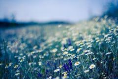美丽的黄色和白色延命菊,雏菊花的特写镜头 库存照片