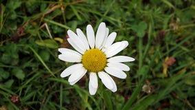 美丽的黄色和白色延命菊, 库存照片