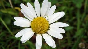 美丽的黄色和白色延命菊, 免版税库存图片