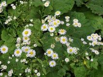 美丽的黄色和白色延命菊, 免版税库存照片