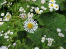 美丽的黄色和白色延命菊, 库存图片