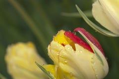 美丽的黄色和红色郁金香芽 免版税库存照片