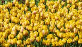 美丽的黄色和红色郁金香领域特写镜头 库存照片