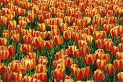美丽的黄色和红色郁金香领域特写镜头 免版税图库摄影