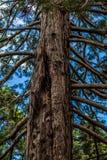 美丽的绿色和非常老高大的树木在森林里 库存照片