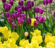 美丽的黄色和紫色郁金香领域特写镜头 库存图片