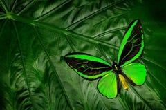 美丽的绿色和黑蝴蝶 Ornithoptera euphorion,石标birdwing,坐绿色叶子,东北澳大利亚 库存照片